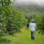 Ka'u Coffee Farm - Cloud Rest