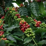 Red Caturra Coffee Cherries on Puna Coffee Farm