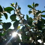 Coffee blossoms open in full sun with a backdrop of pure blue sky