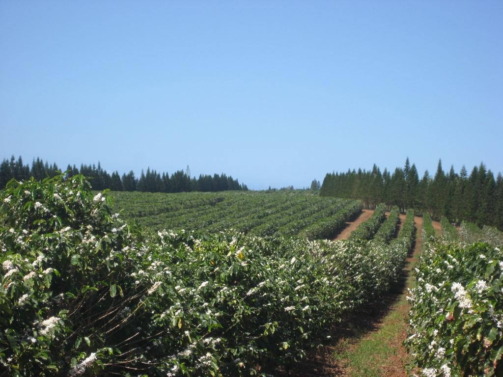 Molokai Coffee Plantation: red catuai blossoms promises another harvest