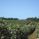 Molokai Coffee Plantation
