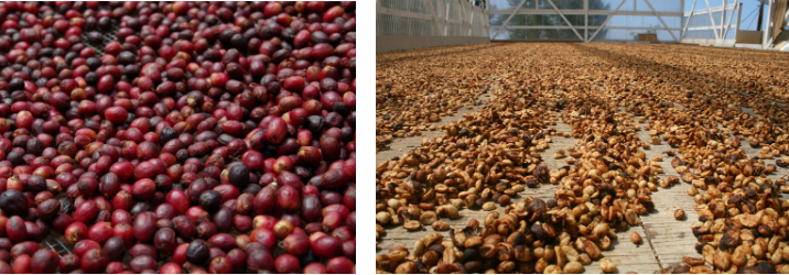 Natural & Dry Coffee Processing Methods